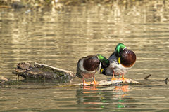 Preening male mallards. Two male mallard ducks on a piece of wood preening themselves in Fernan Lake in north Idaho Royalty Free Stock Photo
