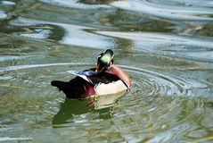 Preening Male Wood Duck in a Pond. Male wood duck preening and swimming Stock Photos