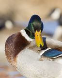 Preening Mallard. Mallard Drake preening his feathers Royalty Free Stock Photo