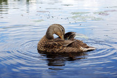 Preening mallard duck. Female mallard duck preening while on a lake Stock Photography