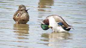 Preening mallards. Water, brown, ducks, green, blue, white Royalty Free Stock Photography