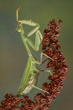 Preening Mantis Royalty Free Stock Photography