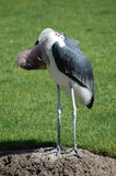Preening Marabou Stork Royalty Free Stock Images