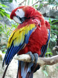 Preening Parrot. Parrot preening on branch Royalty Free Stock Photography
