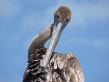 Preening Pelican Royalty Free Stock Photos