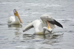 Preening Pelican Stock Photos