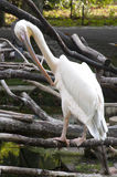 Preening Pelican Royalty Free Stock Photo