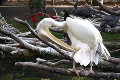 Preening Pelican Stock Image