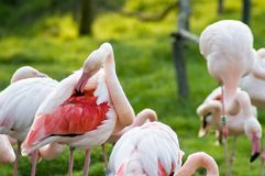 Preening pink flamingos. Group of preening pink flamingos in green field Royalty Free Stock Photo