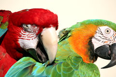 Preening pleasure Royalty Free Stock Photo