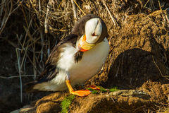 Preening Puffin. Adult Horned Puffin Cleaning Feathers Near Its Nesting Burrow Royalty Free Stock Photography