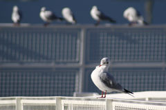 Preening seagull. A seagull is preening on a pier with other seagull in the back Royalty Free Stock Photos