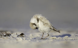 Preening snowy plover Royalty Free Stock Images