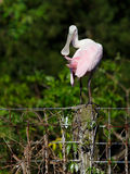 Preening Spoonbill on Fence Royalty Free Stock Photo
