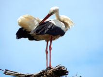 Preening stork. A stork is preening in him/her nest Royalty Free Stock Images