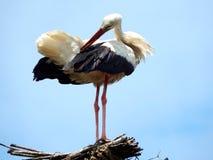 Preening stork Royalty Free Stock Images