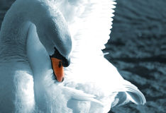 Preening swan Stock Photos