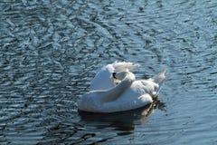 A preening swan royalty free stock photo