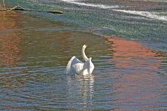 Preening swan on lake Royalty Free Stock Images