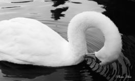 The Preening Swan royalty free stock photography