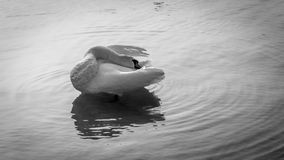 Preening swan Stock Photo