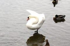 Preening Swan Royalty Free Stock Photos