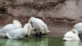 Preening swans at the pond. The preening white swans at the morning pond stock footage