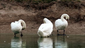 Preening swans at the pond. The preening white swans at the morning pond stock video footage