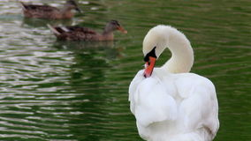Preening swans at the pond. The preening white swan at the morning pond and swimming ducks at background stock footage