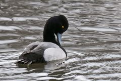 Lesser Scaup Preening Royalty Free Stock Images