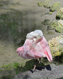 Preening time for a Roseate Spoonbill. The roseate spoonbill has striking bright pink feathers. The bird is an elegant flier and is frequently seen in the Royalty Free Stock Photography