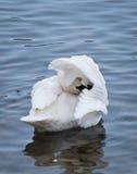 Preening Trumpeter Swan (Cygnus buccinator) Royalty Free Stock Photos