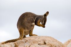 Preening Wallaby. A Yellow-Footed Rock Wallaby preens itself royalty free stock photography