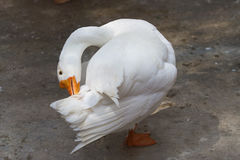 A preening white goose. Photo of a white goose preening it`s feathers royalty free stock image