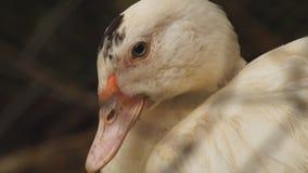Preening White Peking Ducks stay resting in their habitat. Close up stock video