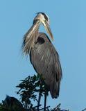 Preening wielkiego błękita czapla pozuje blisko zmierzchu Fotografia Stock