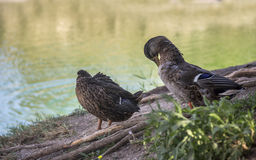 Preening wild ducks. Close-up two preening mallards Anas platyrhynchos Royalty Free Stock Photo
