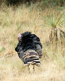 Preening wild turkey Royalty Free Stock Photo