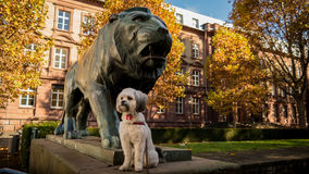 Preety and the beast. Small Shih Tzu and big sculpture o lion Royalty Free Stock Photos