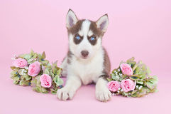 Preety Husky Puppy Stock Images