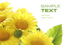 Preety yellow flowers. With space for your text Royalty Free Stock Image