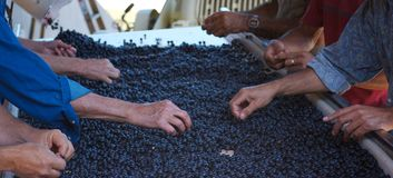 The prefect Grape. Sorting grapes immediately after picking and before first pressing Stock Images