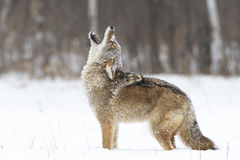 Prefect poser. Coyote in perfect stance howling in a snowy field Stock Images