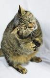 Pregare gatto, gatto di seduta, gatto Fotografia Stock