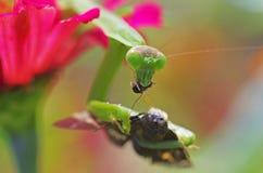 Pregare il mantide che mangia un lepidottero Immagine Stock
