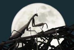 Pregare il mantide con la luna piena Fotografia Stock Libera da Diritti