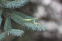 Pregare il mantide su un albero di Natale verde Immagine Stock Libera da Diritti