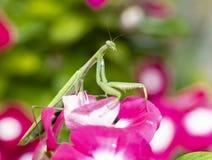 Pregare il mantide su Vinca Flower Fotografie Stock