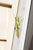 Pregare l'insetto del mantide in natura Mantis Religiosa Immagini Stock Libere da Diritti
