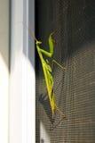 Pregare l'insetto del mantide in natura Mantis Religiosa Fotografia Stock Libera da Diritti